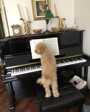 dog sitting on piano bench in front of piano