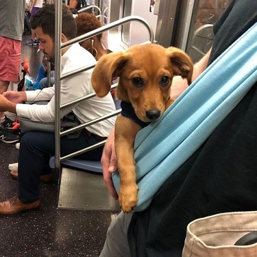 human cradles small dog in baby bjorn on NYC train