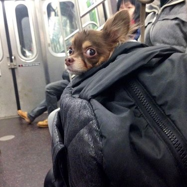 Small pup side-eyes fellow commuter on NYC train