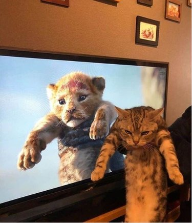 cat being held up like simba the lion