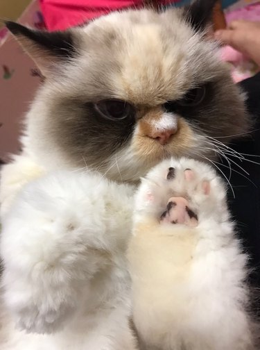 cat holding his paw up to the camera