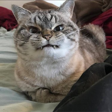 cat looking like a vampire with his teeth