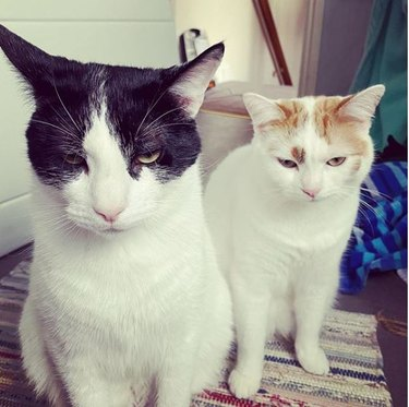 two cats glaring at the camera