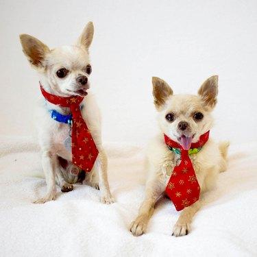 two elderly chihuahuas in neckties