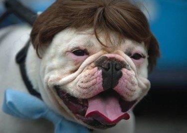 Bulldog in a man's toupee