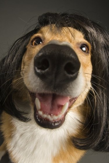 Happy dog in a brunette wig