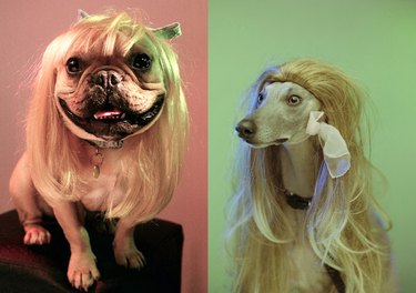 Two dogs in blonde wigs
