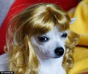 Dog with a curly blonde wig