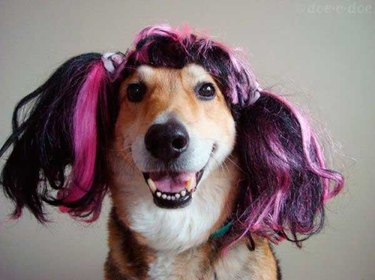 Happy dog in purple pigtails