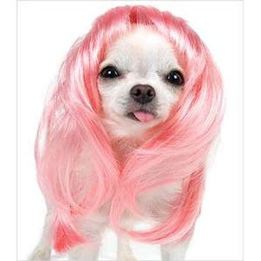 Chihuahua in pink wig