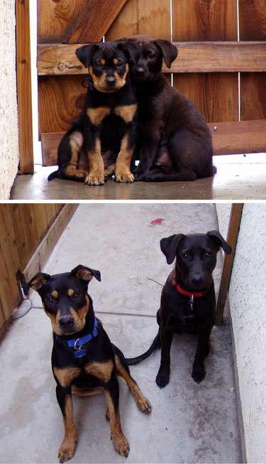 Side-by-side photos of dogs as a puppies and as adults.