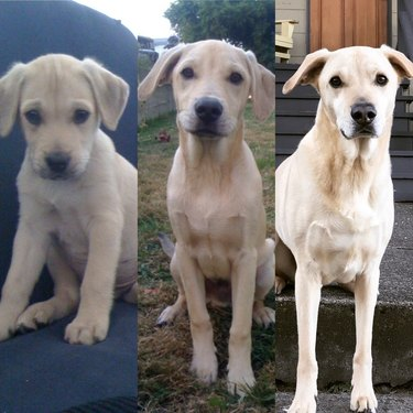 Side-by-side photos of dog with long legs as a puppy and an adult.