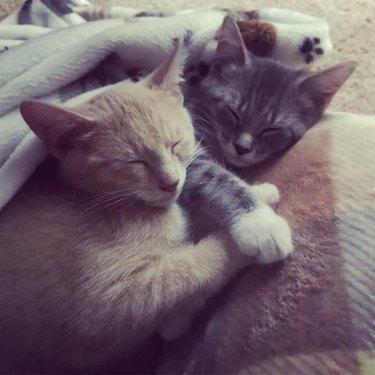 kittens snuggle under blanket