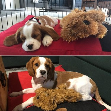 Side-by-side photos of dog with stuffed animal as a puppy and an adult.