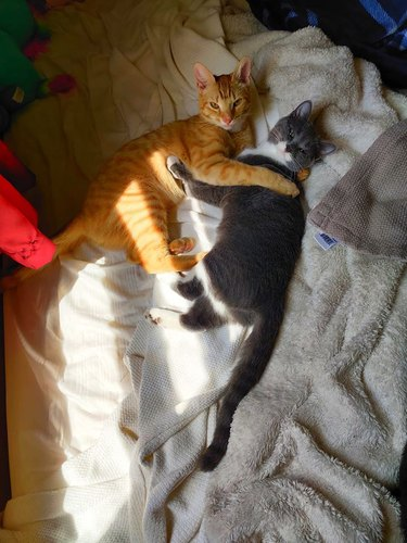orange cat and gray cat hold each other