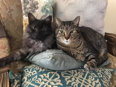 cats lay on pillow