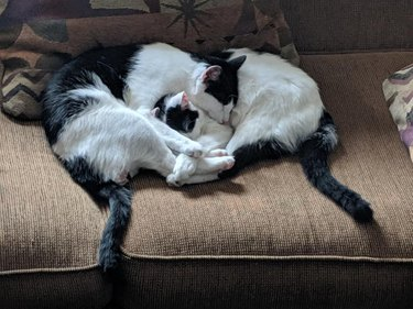 tuxedo cats snuggle on couch