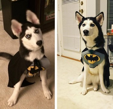 Side-by-side photos of dog in Batgirl costume as a puppy and an adult.