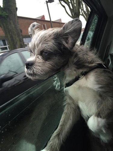 unconventional looking dog in a car