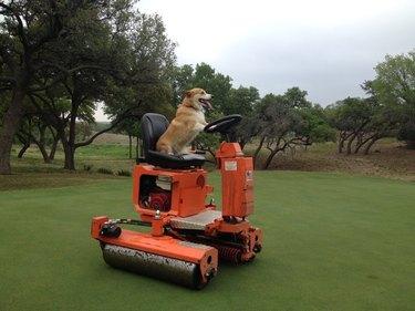 Corgi driving a lawnmower