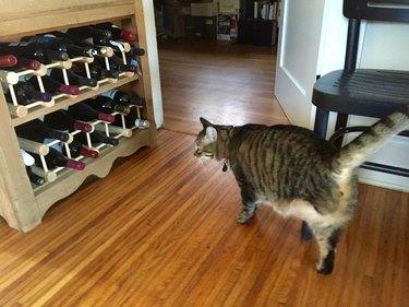 Three-legged cat looking at wine rack
