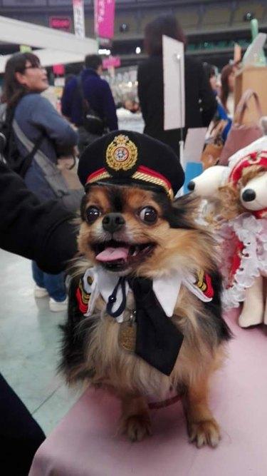 Cute little dog dressed up like a pilot