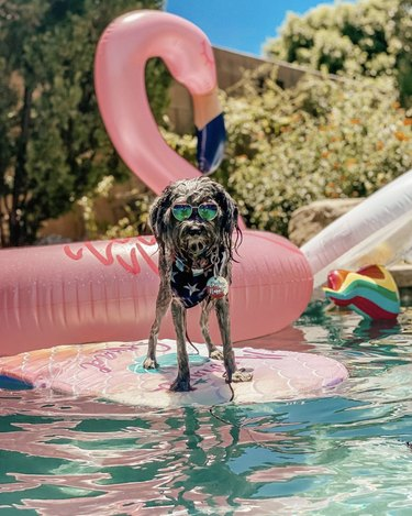 dog on floatie in pool with sunglasses on