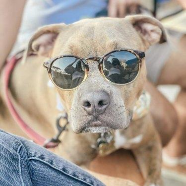 dog in tortoiseshell sunglasses