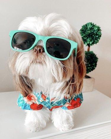 small dog in green sunglasses