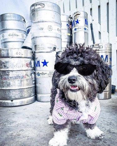 dog in black sunglasses by beer kegs