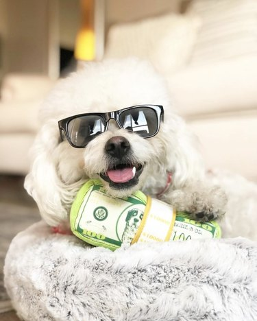dog in black sunglasses with fake stack of money