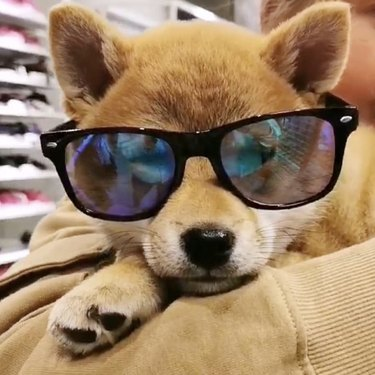 shiba inu in sunglasses