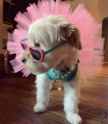 dog in pink tutu and heart shaped sunglasses
