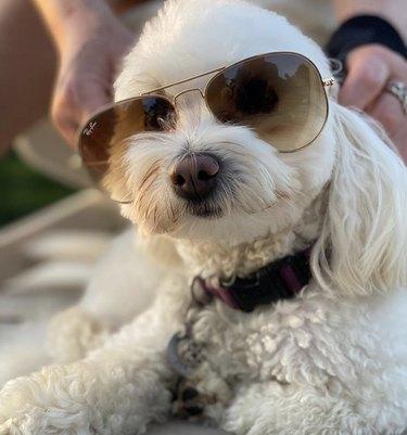 white dog in aviators