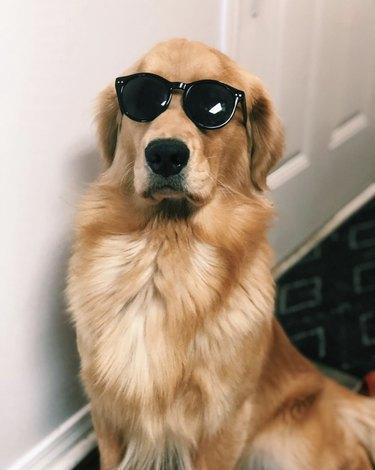 golden retriever in black sunglasses