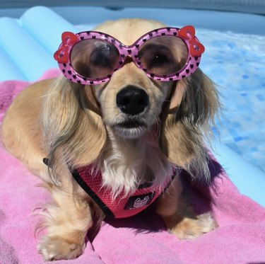 dog in pink sunglasses with bows