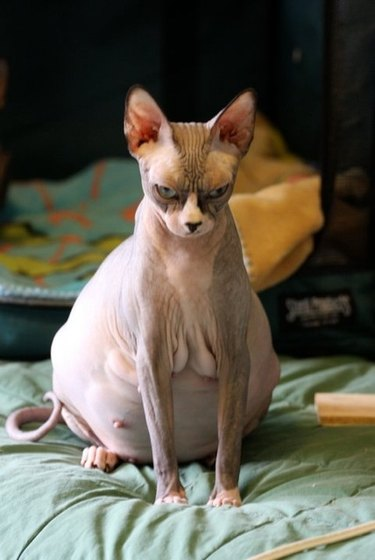Very mad looking pregnant cat