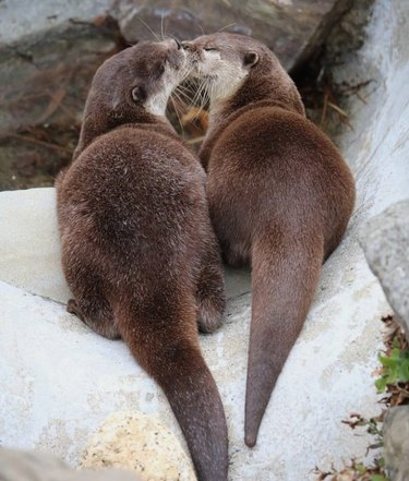 Two otters nuzzling