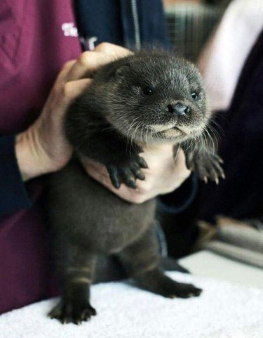 otter pup with a chubby tummy