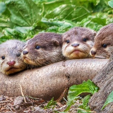 four otter pups in a row