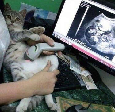 Cat getting a fake ultrasound