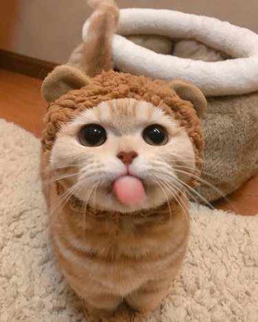 Cat in teddy bear costume sticking out tongue