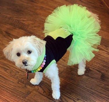 dog in green tutu