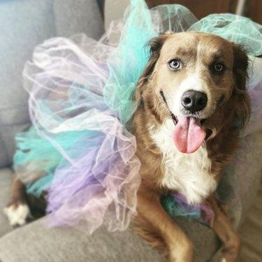 dog in blue and purple tutu