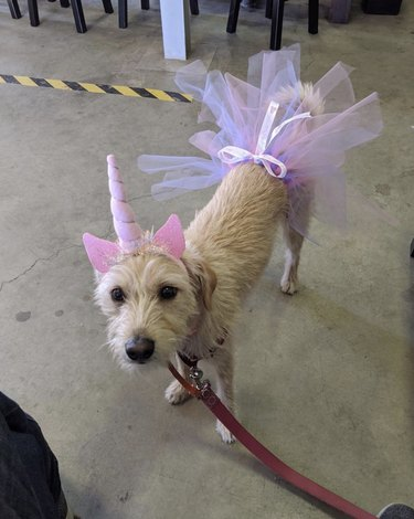 dog in unicorn horn and pink tutu