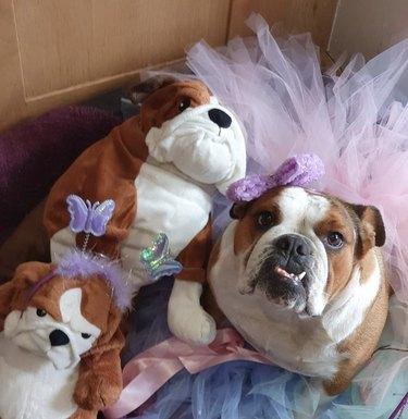 bulldog in pink tutu