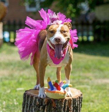 pitbull in hot pink tutu