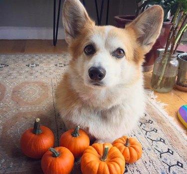 Cute corgi with tiny pumpkins