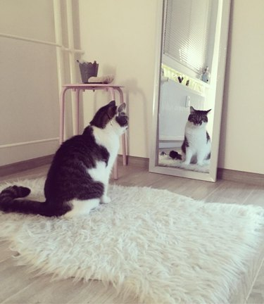 cat stares at reflection in mirror
