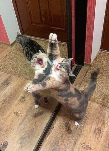 cat screams against mirror